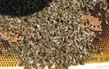 пчелопакеты карпатка