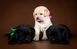 Питомник РКФ «Just Lab» предлагает щенков