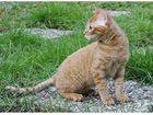 Foto в Кошки и котята Вязка Герман рекс (Немецкий рекс), окраса солнышко в Санкт-Петербурге 0