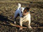 Фотография в Собаки и щенки Вязка собак Породистый кобель Джек Рассел Терьер (возраст в Санкт-Петербурге 0