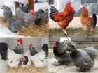 Фотография в Домашние животные Птички Продам цыплят мясо-яичных пород кур разного в Санкт-Петербурге 100