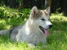 Изображение в Собаки и щенки Продажа собак, щенков Продаются крупные, перспективные щенки Маламута в Санкт-Петербурге 40000
