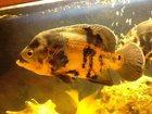 Изображение в Рыбки (Аквариумистика) Аквариумные рыбки Продам трех взрослых астронотусов (больше в Санкт-Петербурге 0