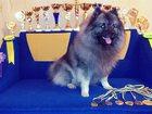 Изображение в Собаки и щенки Вязка собак СПБ. Вязка. Грация Селесте Доминик Доминго в Санкт-Петербурге 40000