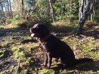 Foto в Собаки и щенки Вязка собак Для вязки предлагается тёмно-шоколадный кобель в Санкт-Петербурге 25000