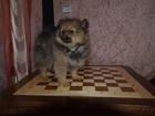 Фото в Собаки и щенки Продажа собак, щенков продается щенок померанского шпица редкого в Санкт-Петербурге 35000