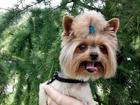 Foto в Собаки и щенки Вязка собак Приглашаю девочек на вязку. Мальчик опытный, в Санкт-Петербурге 2000