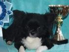 Фото в Собаки и щенки Вязка собак Предлагается для вязок мини кобель Чихуа! в Санкт-Петербурге 3500