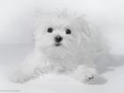 Фотография в Собаки и щенки Продажа собак, щенков Красивый породный мальчик мальтезе (мальтийская в Санкт-Петербурге 65000