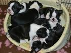 Фото в Собаки и щенки Продажа собак, щенков Предлагаю к резервированию щенков породы в Санкт-Петербурге 0