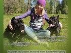 Изображение в Собаки и щенки Продажа собак, щенков Предлагаются к резервированию малыши от красивой в Санкт-Петербурге 40000