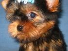 Фото в Собаки и щенки Продажа собак, щенков Питомник Квинстар предлагает очаровательных в Санкт-Петербурге 13000