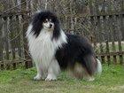 Фотография в Собаки и щенки Продажа собак, щенков Колли, триколорного щенка мальчика, предлагает в Санкт-Петербурге 0