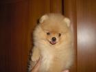 Фотография в Собаки и щенки Продажа собак, щенков Продаются замечательные щенки померанского в Санкт-Петербурге 30000
