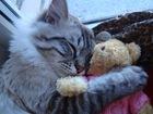 Фото в Кошки и котята Вязка Тайский кот (7 лет)  Красивый, умный, зд в Санкт-Петербурге 2500