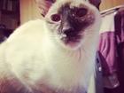 Ищем кота питерболда на вязку желательно к нам