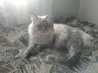 Новое foto Вязка кошек Невский маскарадный кот (вязка) 68217060 в Санкт-Петербурге