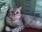 Скачать бесплатно изображение Вязка кошек Вязка с шикарным опытным британцем 68254072 в Санкт-Петербурге