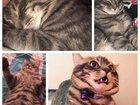 Уникальное изображение Вязка кошек Котик на вязку, Тимофей, Кудрово , Просит, 68302193 в Санкт-Петербурге