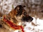 Увидеть изображение Отдам даром - приму в дар Небольшая собачка с мягким характером в семью 68861296 в Санкт-Петербурге
