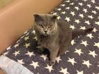 Скачать бесплатно изображение Вязка кошек Британский вислоухий красавец 69145559 в Санкт-Петербурге