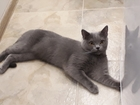 Свежее foto Вязка кошек Вязка с британцем короткошерстным, возраст 1год 8 мес 69150307 в Санкт-Петербурге