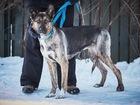 Уникальное фотографию  Собака уникальной красоты, интеллекта и воспитания 69220748 в Санкт-Петербурге