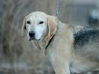 Скачать бесплатно foto Отдам даром - приму в дар Невероятный красавец-пёс, метис гончей в дар 69392086 в Санкт-Петербурге