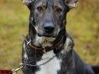 Смотреть фото Отдам даром - приму в дар Добрейший огромный пёс, который умеет петь 69824943 в Санкт-Петербурге