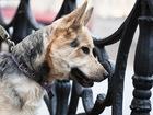 Увидеть изображение  Пёс-джентльмен и крутой пёс-акробат ищет дом 73414538 в Санкт-Петербурге