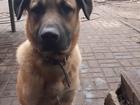 Смотреть изображение  Незаменимый пёс-помощник в загородный дом 81275395 в Санкт-Петербурге