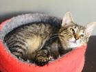 Уникальное фотографию Отдам даром - приму в дар Мягкая нежная мурочка-котенок 84276815 в Санкт-Петербурге