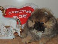 Продаются щенки карликового ( померанского)шпица Продаются замечательные щеночки