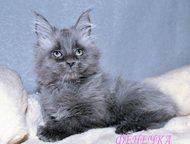 мейн-кун котята Питомник предлагает к резервированию котят мейн-кун , голубого о