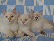 Котята Невские маскарадные Невские маскарадные подрощенные котята, возможно разв