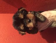 Йоркширский терьер СПб , продаются щеночки йоркширского терьера дата рождения 14