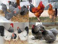 Цыплята кур, Мед пчелиный Продам цыплят мясо-яичных пород кур разного возраста о