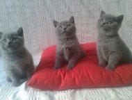 Продам недорого котенка британская короткошерстная Продам котят недорого. Британ