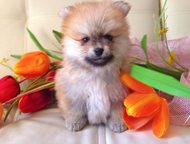 Персиковая девочка шпиц Дата рождения 30 апреля 2015 года. Девуля с документами,