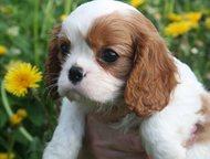 Кавалер кинг чарльз спаниель Породистые щенки с прекрасной родословной.