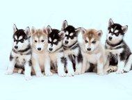 Чудо щенки Сибирской Хаски Предлагаем вашему вниманию великолепных щенков породы