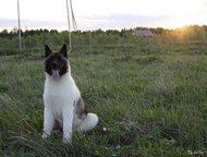 Куплю щенка Акиты Очень нравится Акита возьму недорого в хорошие руки будет жить