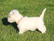 Высокопородные щенки West highland white terrier Продаются высокопородные щенки