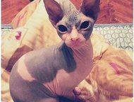 Продажа донских сфинксов Открыта бронь на котят донского сфинка. Носители колор