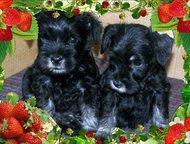 щенки цвергшнауцера Готовятся к продаже очаровательные щенки миниатюрного цвергш