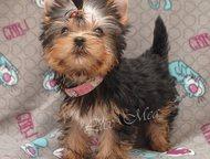 Йоркширский терьер красивый щенок мини Йоркширского терьера красивый щенок 3, 5 мес. мини с кукольной мордочкой беби-фейс. Достойная родословная, РКФ,, Санкт-Петербург - Продажа собак,  щенков