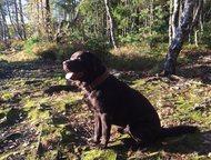 Лабрадор ищет подругу Для вязки предлагается тёмно-шоколадный кобель (Лабрадор-р