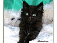 Мейн-кун котята Очаровательные малыши предлагаются питомником к продаже!     Раз