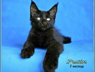 Чёрные мейн куны Питомник мейн кунов предлагает замечательных котят-настоящих пр