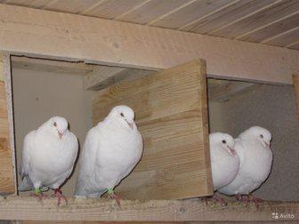 Скачать фотографию  Белые голуби на свадьбу 33599518 в Санкт-Петербурге
